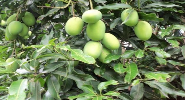 Khabar Odisha:No-market-for-mango-in-Keonjhar