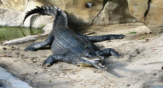 Khabar Odisha:82-Crocodile-in-Bhitarkanika
