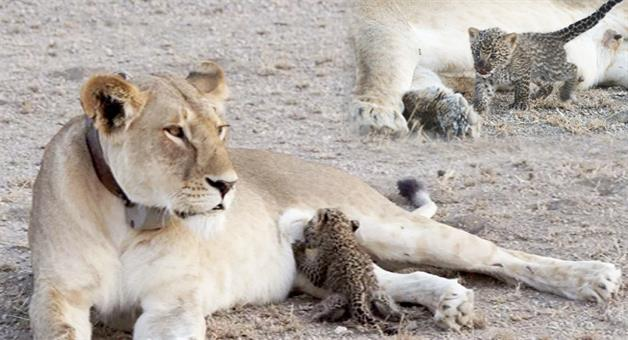 Khabar Odisha:lioness-feed-Leopards-Cub-spotted