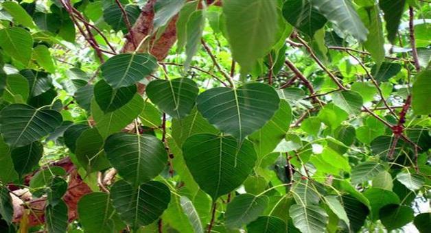 Khabar Odisha:peepal-tree-is-helpful-for-staying-healthyKhabarOdisha