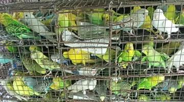 Khabar Odisha:520-birds-of-various-species-and-4-white-squirrels-were-seized-from-the-bus-the-driver-was-detained