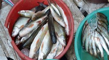 Khabar Odisha:CMC-Raid-in-Fish-Market-of-Cuttack