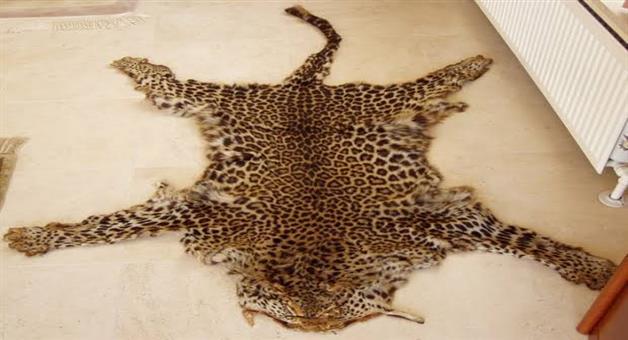 Khabar Odisha:Crime-Odisha-Elephant-tusk--leopard-skin-smuggling-racket-busted-4-members-of-racket-arrested-in-Bhawanipatana-by-the-STF-of-Odisha-Police-Crime-Branch