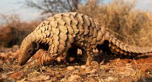 Khabar Odisha:Crime-Odisha-Indian-pangolin-Smuglling-matter-6arrested