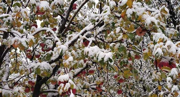Khabar Odisha:Due-to-sudden-snowfall-farmers-of-apple-in-Kashmir-lose-rs-500-crore-loss