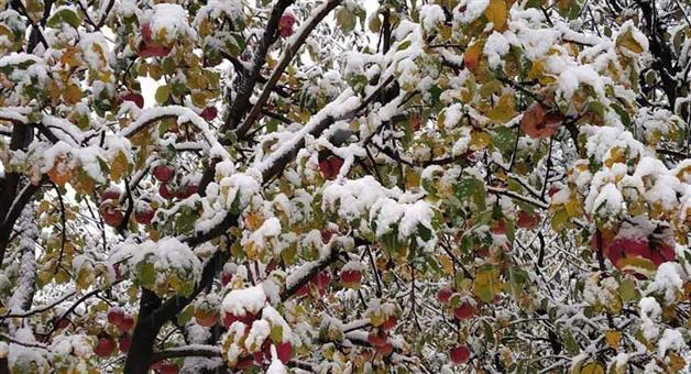 Khabar Odisha:Due-to-sudden-snowfall-farmers-of-apple-in-Kashmir-lose-rs-500-crore-loss