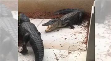 Khabar Odisha:Florida-woman-share-crocodile-fight-in-social-media