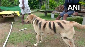 Khabar Odisha:If-the-tiger-didnt-see-it-look-at-the-dog-and-people-would-be-shocked-to-see-a-dog-with-a-tiger-stripe