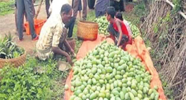 Khabar Odisha:Koraput-mango-farmer-got-profit-from-capital-market