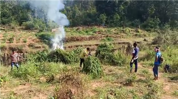 Khabar Odisha:Large-quantities-of-cannabis-cultivation-were-destroyed-by-Baliguda-police