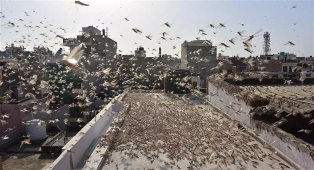 Khabar Odisha:Locust-alert-in-Odisha-after-swarms-move-through-Rajasthan-MP