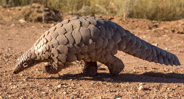 Khabar Odisha:Man-held-for-illegal-pangolin-trafficking