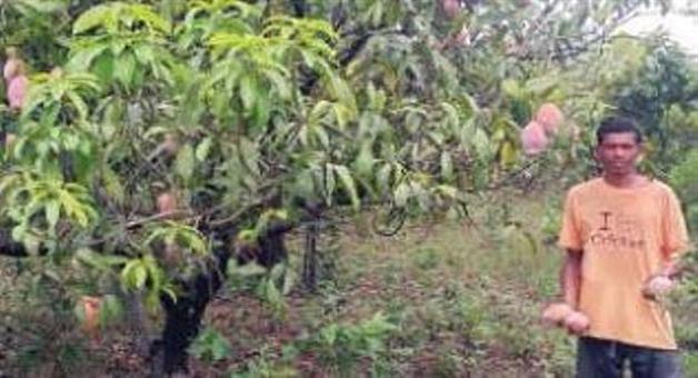 Khabar Odisha:Monger-orchard-gives-live-hood-to-koraput-farmer