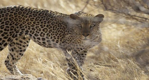 Khabar Odisha:Mother-Drag-Her-Son-From-Leopard-Mouth