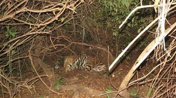Khabar Odisha:NTCA-Team-Reached-At-Satakoshia-for-Tiger-Probe