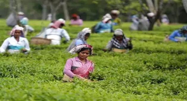 Khabar Odisha:Nation-Golden-butterfly-tea-of-Assam-auctioned-at-75000-rupees-per-kg
