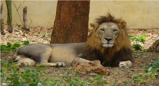 Khabar Odisha:One-African-male-Lion-dead-today-in-Bhubaneswar