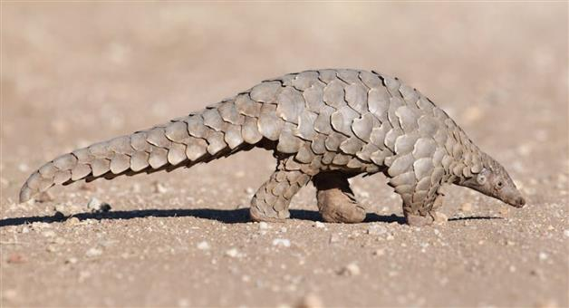 Khabar Odisha:Pangolian-Most-traficked-Animal-in-World