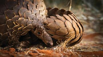 Khabar Odisha:Pangolin-smuggling-on-the-rise-in-the-state-living-Pangolin-rescued-from-Badamba-Range