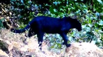 Khabar Odisha:Panther-spotted-in-Hemagiri-forest-of-Sundergarh-Odisha
