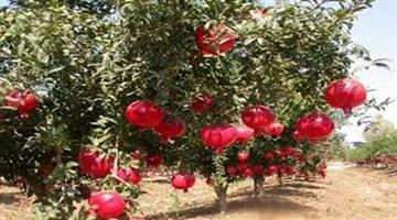 Khabar Odisha:Pomegranate-cultivation-benefited-in-farmer