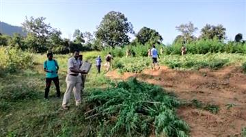 Khabar Odisha:Rayagada-districts-banana-tree-wasting-huge-amounts-of-cannabis-police-administration