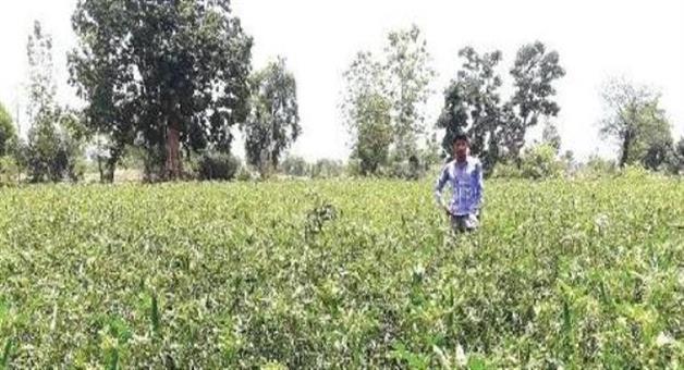 Khabar Odisha:Small-farmer-sitaram-earn-above-lakhs-in-ladies-finger-cultivation