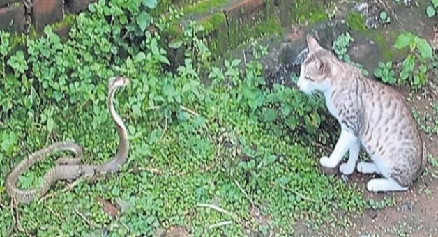 Khabar Odisha:Snake--cat-fale-to-face