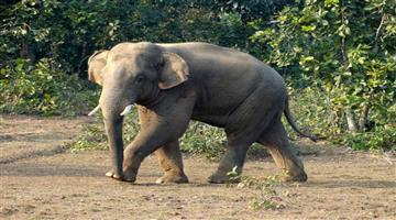Khabar Odisha:State-Group-of-elephants-entre-paddy-crop-in-Kamakshya-Nagar-area-one-elephant-entre-home-in-Choudwar
