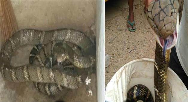 Khabar Odisha:State-Odisha-King-cobra-rescued-from-Rayagada