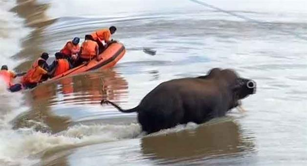 Khabar Odisha:The-Odraff-team-and-two-representatives-of-the-electronic-media-were-in-danger-to-rescue-the-elephant-trapped-in-the-river