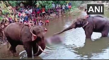 Khabar Odisha:The-elephant-that-died-in-Palakkad-KERALA-was-pregnant--She-was-fed-a-pineapple-filled-with-firecrackers-by-locals