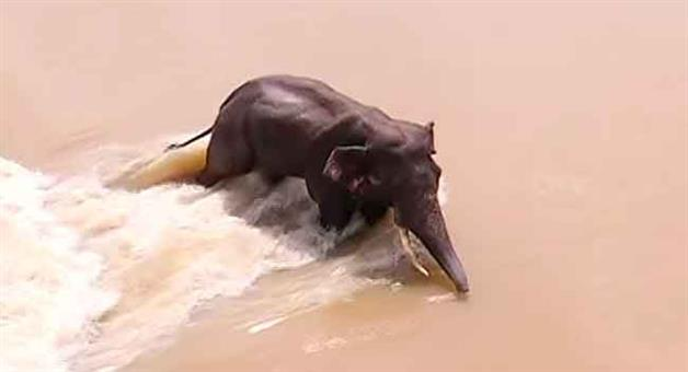 Khabar Odisha:The-ivory-elephant-is-trying-to-reach-the-shore-in-its-own-efforts-creating-problems-for-the-crowds