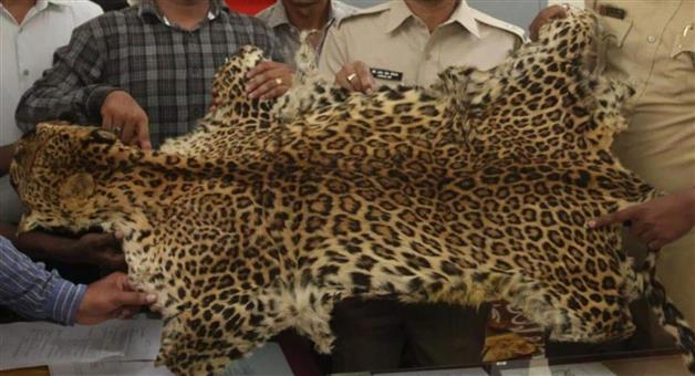 Khabar Odisha:The-tiger-skin-deal-was-in-full-swing-and-the-STF-team-arrested-one