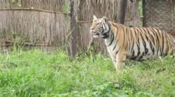 Khabar Odisha:Tiger-Sundari-problem-Row