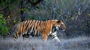 Khabar Odisha:Tiger-Sundari-transfer-Row