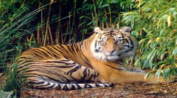 Khabar Odisha:Tigress-Sundari-Tranquilised-In-Satkosia-Tiger-Reserve