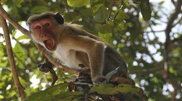 Khabar Odisha:Troof-of-monkey-took-suspected-Corona-pateint-samples