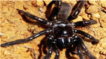 Khabar Odisha:Worlds-Oldest-Spider-Dies-At-The-Age-Of-43-In-Western-Australia