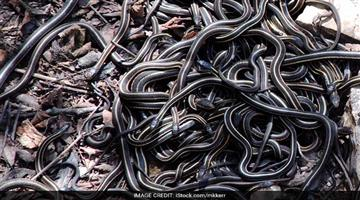 Khabar Odisha:again-10-baby-cobra-rescued-bhadrak