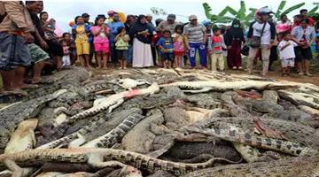 Khabar Odisha:angry-mob-slaughters-nearly-300-crocodiles-in-indonesia