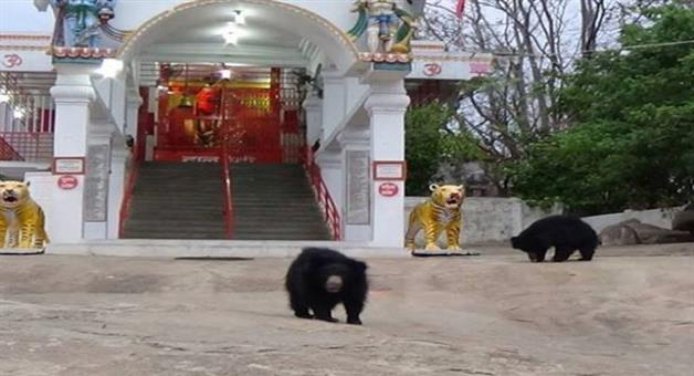Khabar Odisha:bears-visit-chandi-mata-temple-in-chhattisgarh-every-day