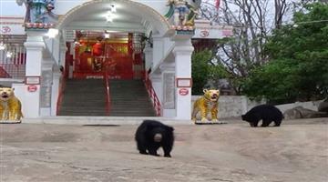 Khabar Odisha:bears-visit-chandi-mata-temple-in-chhattisgarh-every-day