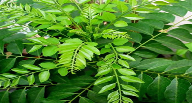 Khabar Odisha:benefit-of-curry-leaves