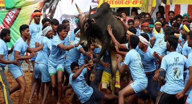 Khabar Odisha:culture-odisha--Jallikattu-Is-Continue-In-Tamilnadu-More-Than-100-People-Injured