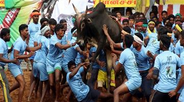 Khabar Odisha:culture-odisha--Jallikattu-Is-Continue-In-Tamilnadu-More-Than-100-People-Injured
