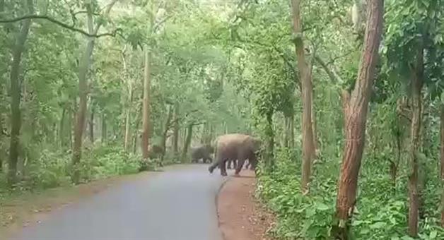 Khabar Odisha:elephant-group-moving-in-tinikosia-forest