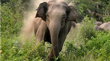 Khabar Odisha:elephant-kills-a-woman-at-purunagarh-under-chhendipada-forest-division