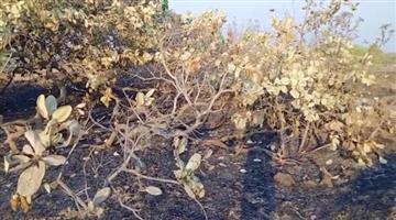 Khabar Odisha:fire-burned-more-than-seven-acres-of-cashew-forest