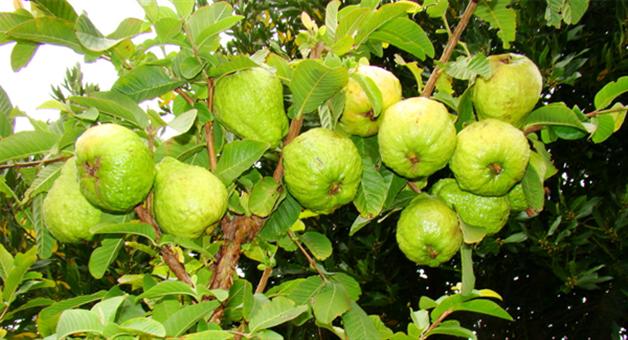 Khabar Odisha:guava-leaves-have-many-medicinal-usages